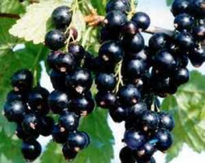 Blackcurrants